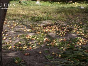 Яблоки под деревом